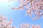 桜満喫デートなら千鳥ヶ淵公園!桜まつり期間中はライトアップも楽しめちゃう